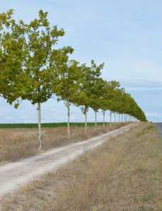 Trees planted for shade for many kilometers along Camino
