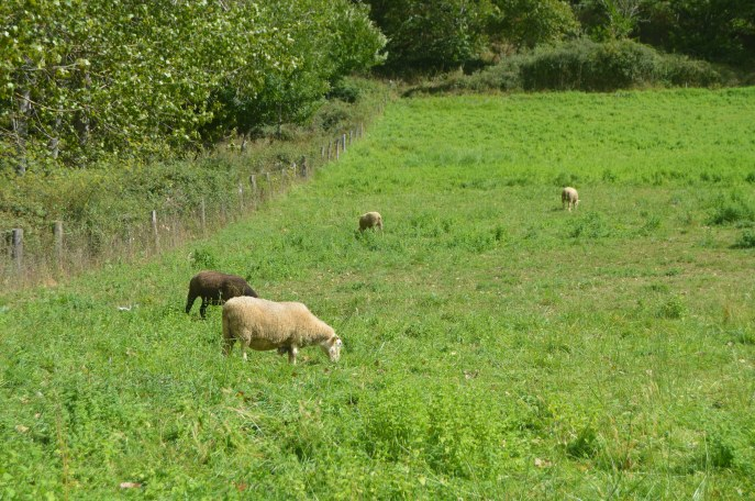 Our first sheep sighting--note the black sheep is staying in the background